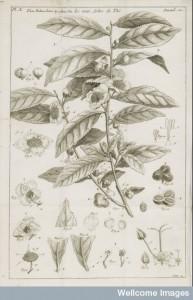 L0049204 Illustration of the tea plant