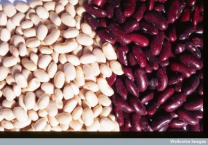 Phaseolus vulgaris (French bean) Credit: Efraim Lev and Zohar Amar. Wellcome Images