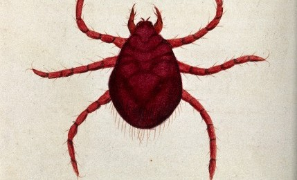 V0022492 An itch mite (Acarus autumnalis). Coloured etching, ca. 1790
