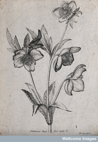 The christmas rose early modern medicine for Botanical tattoo london