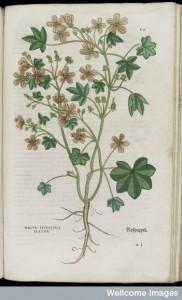 Mallow plant