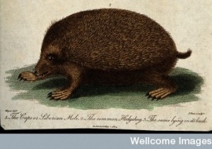a Cape or Siberian mole; middle, a hedgehog Credit: Wellcome Library, London.