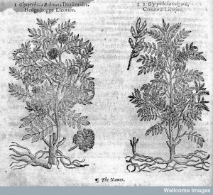 Hedge-hogge licorice and common licorice, John Gerard, 1633 Credit: Wellcome Library, London. Wellcome Images