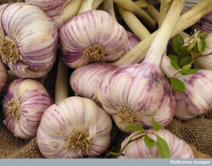 Garlic Bulbs, Libby Welch. Wellcome Images