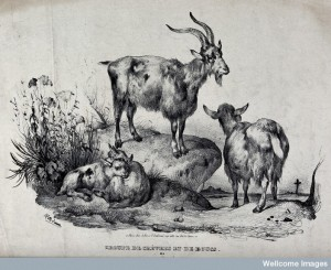 A group of goats, with the billy goat standing on a rock abo Credit: Wellcome Library, London.